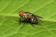 Diptera sp. (Fly) - Costa Rica (Nick Dean1) Tags: diptera fly costarica parquenacionalbarrahonda guanacaste animalia arthropoda arthropod hexapoda hexapod insect insecta