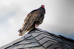 This thing kept following me around all day, staring at me (michaelbbateman) Tags: bird turkeyvulture wildlife butler newjersey unitedstates us vulture roof rooftop