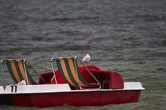 Voler ou naviguer? (standdeb) Tags: chtillon pedalo transat rouge mouette lac bourget nature canon eos 7d sigma