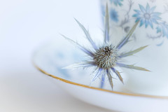 228/366: The blues (judi may) Tags: 366the2016edition 3662016 day228366 15aug16 seaholly eryngium flower flowerhead spiky prickly blue cupandsaucer cup saucer highkey stilllife white whitebackground macro canon7d