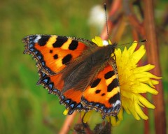 Summertime Sliding (JulieK (finally moved to Wexford)) Tags: hss sliderssunday smalltortoiseshell butterfly flower colour nature beautiful pollination topazglow fenit
