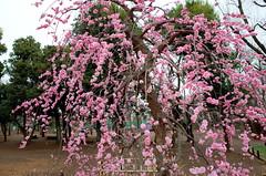 Plum blossom at Hanegi-park (Kanji Yamada) Tags: plum ricoh
