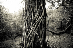 the depths (the_light_house_photography) Tags: tree vines strangle choke parasite