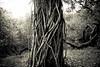 the depths (the_light_house_photography) Tags: tree vines strangle choke parasite