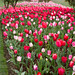 "Skagit Valley Tulips 2015 • <a style=""font-size:0.8em;"" href=""http://www.flickr.com/photos/25269451@N07/16353470643/"" target=""_blank"">View on Flickr</a>"