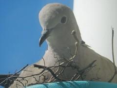 Tortelduiven nestje in een bloempot op het Balkon (Omroep Zeeland) Tags: bloempot tortelduifnest