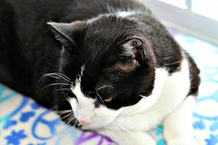 Charles Resting On Blanket 004 (Chrisser) Tags: cats ontario canada nature animal animals cat lens00025 ourcatcompanions crazyaboutcats kissablekat kissablekats bestofcats kissablekitties kissablekitty canoneosrebelt1i bicolouredshorthaired canonefs60mmf28macrousmprimelens