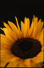 Sunflower (Paul Cooklin) Tags: flowers flower beautiful beauty blackbackground pretty image blossom blossoms negativespace squareformat attractive bloom flowering cropped studioshot blossoming blooms macros botany beauties beautifully fineartphotography blooming appeal onblack velvia50 flowered yellowish appealing appeals negativespaces colorimage studioshots appealed coloredbackground mediumcloseup attractively colourimage backgroundblurred colouredbackground portraitlighting coloredbackgrounds blackbackgrounds backgroundblurry colouredbackgrounds backgroundunfocused