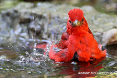 Summer Tanager Male Taking a Bath (Let there be light (A.J. McCullough)) Tags: summer birds texas tanager highisland summertanager texasbirds springmigration highislandtexas boyscoutwoods
