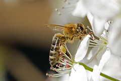 Buzz Buzz (KingFamine) Tags: white flower macro nature insect buzz photography bee honey 365 invertebrate photooftheday picoftheday macrophotography project365 365project 365photography