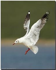 Brown-headed Gull (Larus brunnicephalus) (birdsforlife) Tags: seagull gull brownheadedgull larusbrunnicephalus
