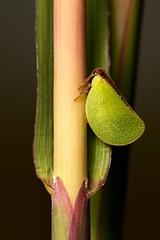 20130822-0227-60d1 (Raphael Carter) Tags: grass insect prairie hopper planthopper hemiptera acanaloniabivittata acanalonia twostripedplanthopper bivittata