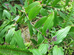 Gingie - a cool plant (stitchingbushwalker) Tags: opengardens gingie