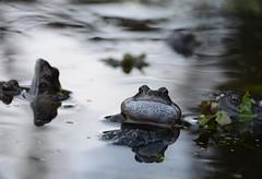Common Frog, Rana temporaria (willjatkins) Tags: frog frogs ponds croak pondlife ranatemporaria commonfrog gardenponds britishamphibians hertfordshirewildlife britishreptilesandamphibians britishfrogs frogcroaking ukamphibians britishamphibiansandreptiles ukfrogs wildlifeofgardenponds hertfordshireponds hertfordshirefrogs
