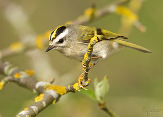 Golden crowned kinglet, female