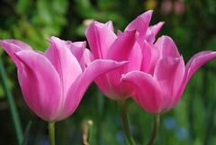 Beauty Can Be Seen in the Pink of an Eye! (antonychammond) Tags: pink flowers garden tulips tulip perennials liliaceae genustulipa macroelsalvador excellentsflowers natureselegantshots exquisiteflowers greatshotss contactgroups mixofflowers esenciadelanaturaleza flickrbronzetrophygroup