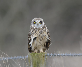 The eyes have it...... Short eared owl