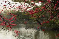 plum blossoms in Syakujii Park. (cate♪) Tags: pond bokeh plumblossoms 石神井公園 紅千鳥