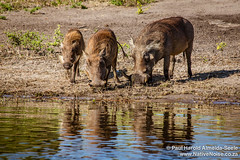 Warthogs In Chobe National Park, Botswana