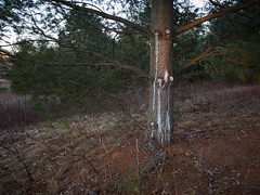 Pine trunk at sunset (Citizen 4474) Tags: park county light sunset tree nature stain pine wisconsin forest flora warm branch dusk spot resin knots goldenhour sap seeping oozing eauclaire