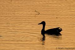 Mallard (Matt Hazleton) Tags: summerleys bcn bcnwildlifetrust wildlife nature bird silhouette sunset canoneos7d canon eos 7d sigma150500mm sigma 150500mm mallard duck matthewhazleton matthazphoto matthazleton