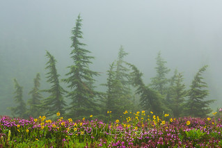 Mountain Arnica, Mountain Hemlock, and Red Mountain Heather on Excelsior Ridge