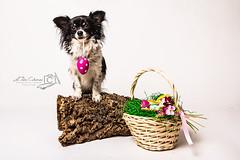 Ostern (Clarissa Scheffler) Tags: dog white chihuahua black cute easter klein long sweet small hund eggs ostern haired coloured bunt clarissa eier scheffler langhaar ostergrus