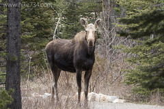 """Cow Moose • <a style=""""font-size:0.8em;"""" href=""""http://www.flickr.com/photos/63501323@N07/17081078748/"""" target=""""_blank"""">View on Flickr</a>"""