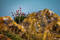 Sea Thrift & Lichen at Heybrook Bay 2 (GDWilson1000) Tags: flowers wild canon rocks devon thrift lichen 70200l heybrookbay 5d2