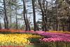 _MG_4357 (Gökmen Kımırtı) Tags: flower tulip 2015 emirgan laleler