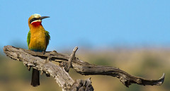 white fronted bee eater (paul.ralphs) Tags: birds beeeater nature outdoor wildbirds africa canon canon7d bushveld