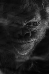 Gorilla (sophiehep) Tags: portrait black monkey king gorilla kong ape