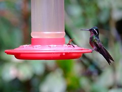 Interloper (halifaxlight) Tags: insect costarica hummingbird feeding bokeh feeder monteverde perched greatphotographers monteverdebiologicalreserve