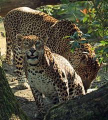 shrilankan panther Burgerszoo JN6A6083 (j.a.kok) Tags: leopard panther burgerszoo panter luipaard shrilankapanter shrilankanpanther