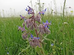 Borage (aniko e) Tags: blue plant flower germany munich medical aromatic boragoofficinalis boraginaceae borretsch borago garchingerheide borágó