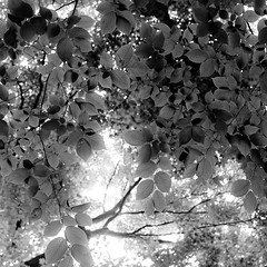 Up Through Trees 023 (noahbw) Tags: trees light shadow summer blackandwhite bw abstract blur monochrome leaves silhouette forest square landscape blackwhite woods nikon dof natural bokeh branches depthoffield d5000 captaindanielwrightwoods noahbw