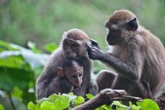 Monkeys (deborahmocci) Tags: life people bw nature indonesia landscape volcano boat asia cambodia southeastasia mine village report floating malaysia bromo ijen giava indocina