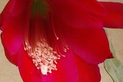 Epiphyllum 2016 (William Sc) Tags: longexposure red cactus flower colour canon sigma eveninglight epiphyllum beautyful eos500d 1770mm12845
