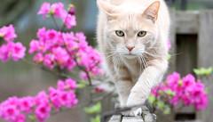 Handiest subject ever (Kerri Lee Smith) Tags: flowers cats fence outdoors azaleas jimmy blossoms tabbies felines cateyes orangecats buffcats beigecats