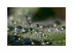 waterdrops II (francine koeller) Tags: green water leaf drops waterdrop eau vert sphere droplet goutte feuille feuillage gouttelettes gouttelette