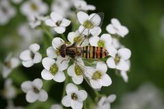Episyrphus balteatus (Laura Whitehead) Tags: hoverfly episyrphusbalteatus marmaladefly