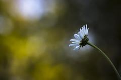 Une simple fleur (Mathieu Calvet) Tags: blur flower macro nature fleur pentax bokeh 100mm flou k3 midipyrnes fa100macro