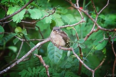 Young bird (Cao Tn Anh) Tags: plant tree bird animal outdoor young newbie rmit youngbird