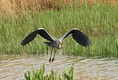 Take off... (WhitePointer) Tags: heron flight rspb leightonmoss