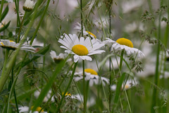 Secret daisy convention... (.: mike | MKvip Beauty :.) Tags: flowers flower macro green nature closeup daisies germany europe zoom bokeh availablelight sony ngc naturallight npc daisy handheld wildflowers alpha makro mth oss shallowdof doublefantasy germersheim extremebokeh smoothbokeh sonyalpha bokehlicious beyondbokeh emount mkvip sel55210 sonyalpha5100 ilce5100 sonyilce5100 sony5100 5100 sonye55~210mm45~63oss e55~210mm45~63oss