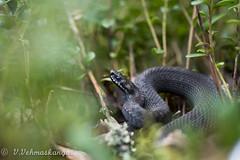 Vipera berus (Ville.V.) Tags: finland snake viper adder kyy vipera berus krme herping