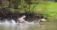 Outta My Pond! (jmaxtours) Tags: ontario canada geese goose mississauga canadagoose canadageese portcredit mississaugaontario portcreditontario outtamypond