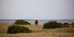 Lone Cow  Te Whanga Lagoon Chatham Island New Zealand (In Memoriam Ngaire Hart) Tags: newzealand chathamisland chathamislands cow tewhangalagoon farm cattle cows limestone lagoon gorse pasture remote isolated animal shag seagull rock sandstone erosion weathered ancient fossils nature sculpture overcast panorama landscape ngairehart travel photography abandoned dumped rusting tomo dairy natureabstract rekohu moriori maori tribe colonial whalersandsealers missionaries history historical wharekauri
