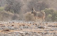 CAC_8686-20150923 (C&P_Pics) Tags: na namibia burchellszebra etoshanationalpark oshikoto namutonicamptohalalicamp