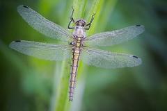 Orthetrum reticule (pierre-david) Tags: macro rosee insecte ete libellule matin